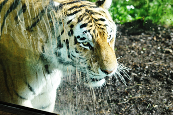 Amur Tiger Highland Wildlife Park