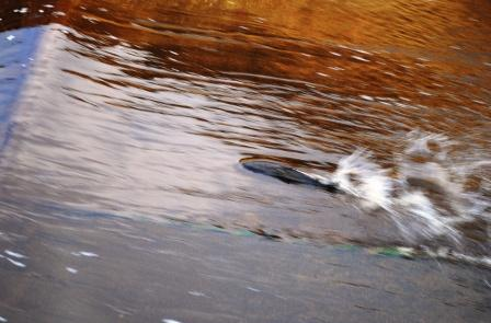 Salmon running at Hutton