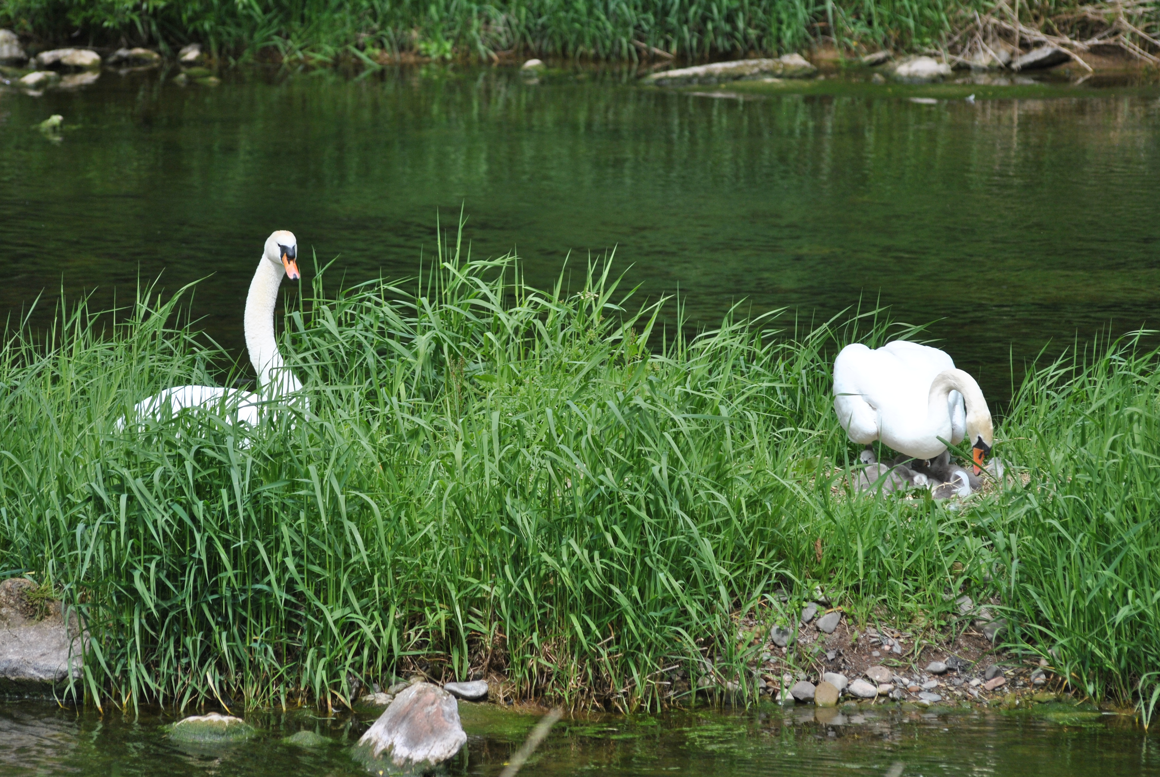 The cygnets hatch in June
