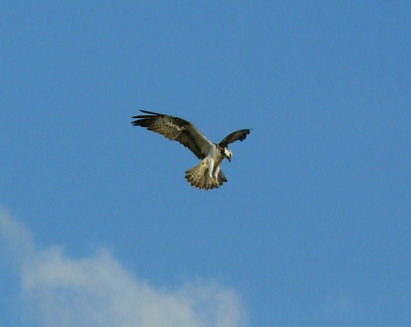 Dale Robertson's picture of an osprey on the hunt at Orchill